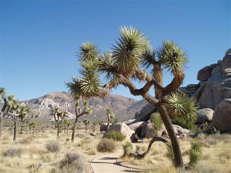 joshua tree pictures facts on the joshua trees