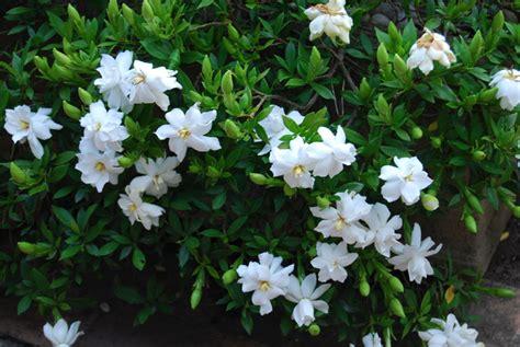 gardinia radicans   plants garden supplies