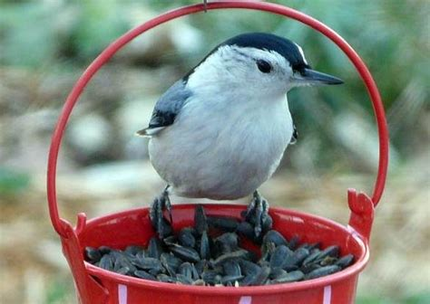 what do backyard birds eat best 25 backyard birds ideas on pinterest pretty birds