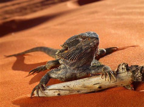 Reptile L by Australian Reptile Lumix Photos