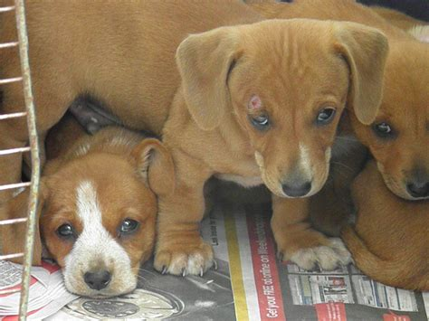 dorgi puppies for sale blue chihuahua x maltese boys chihuahua in qld for sale breeds picture