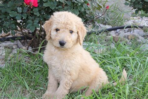 goldendoodle puppies dallas goldendoodle puppy for sale near dallas fort worth 529f3609 85f1