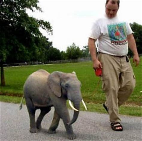 Can You Believe It? Adorable Pygmy Elephants! | Baby ...