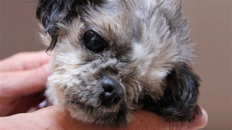 spca shih tzu maggot infested recovery ctv vancouver news