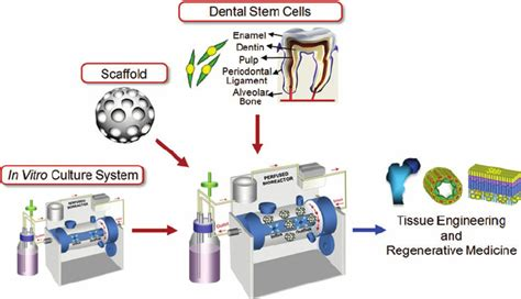 bioreactor cell culture protocol dental stem cell based tissue engineering in vitro 3d
