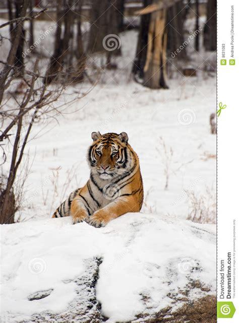 tigre seduta seduta siberiana della tigre immagine stock immagine di
