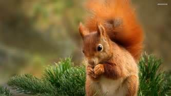 cute baby red squirrels wallpaper