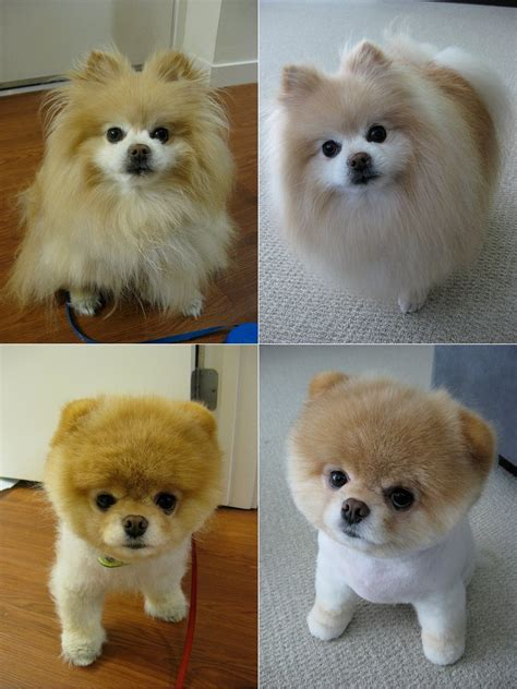pomeranian with boo haircut world s cutest boo at 5 9m for blockheads official megathread
