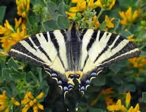 le schmetterling la leggenda delle farfalle letizia baffoni