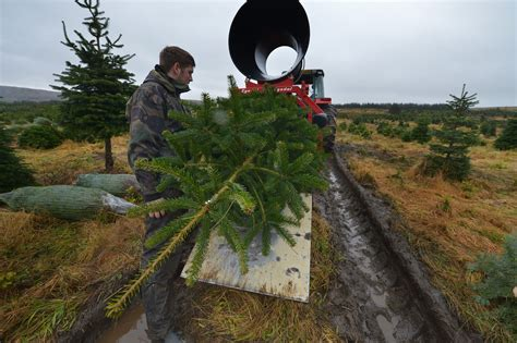 christmas trees are felled and prepared at garrocher tree
