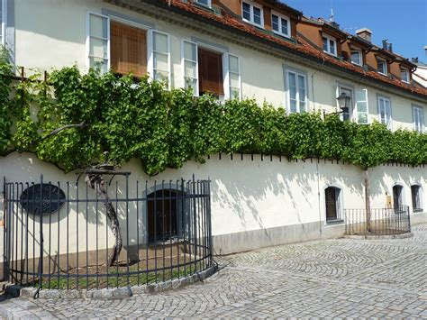 oldest house in the world file house of the oldest grapevine in the world hiša stare trte in maribor jpg