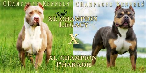 tri color pitbulls for sale chocolate tri color pitbull puppies for sale bubakids