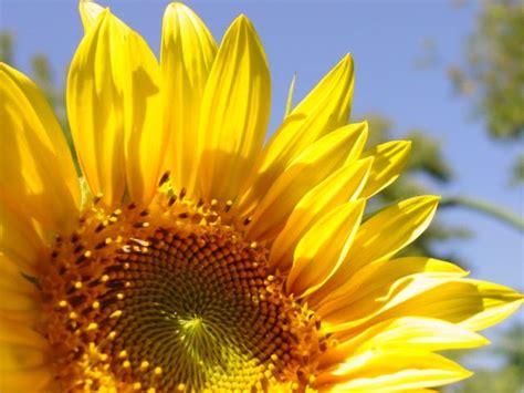 black sunflower seed growers nyack backyard growing black sunflowers