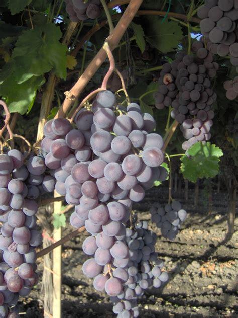 uva da tavola globe globe vite per uva da tavola plantgest