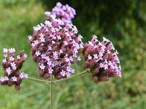 imagenes de flores verbenas verbena de jardin verbena bonariensis plantas