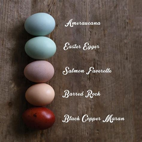 what color does your chicken lay amercauna easter egger