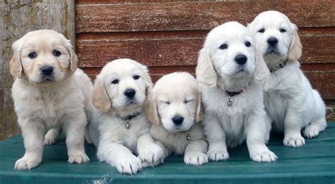 golden retriever puppies for sale cornwall golden retriever puppies with quality pedigree camborne cornwall pets4homes