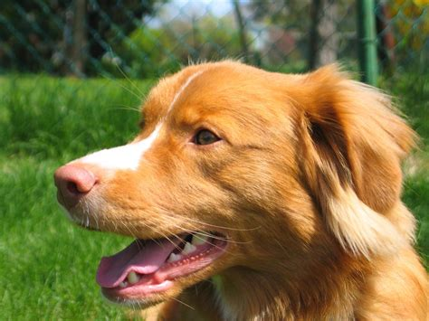 origin of golden retriever dogs scotia duck tolling retriever