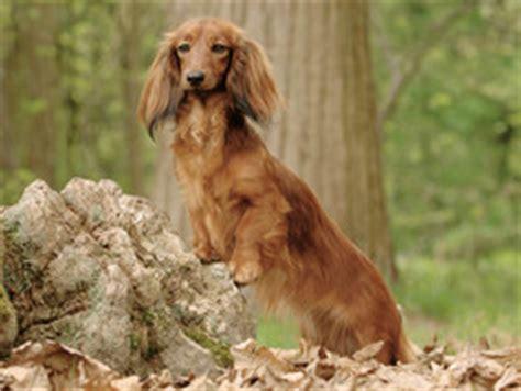 Teckel : chien et chiot Dachshund - Wamiz