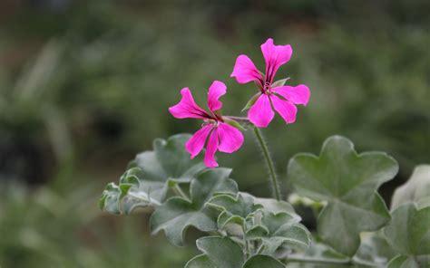 geranium pictures geranium flower pictures