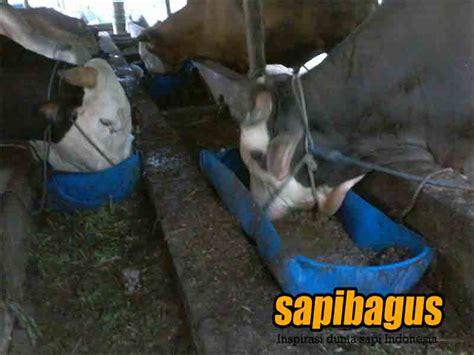 membuat zpt untuk ternak manfaat dan cara membuat comboran untuk nutrisi ternak