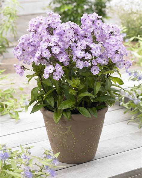fragrant patio plants 92 best images about bulbs in containers on
