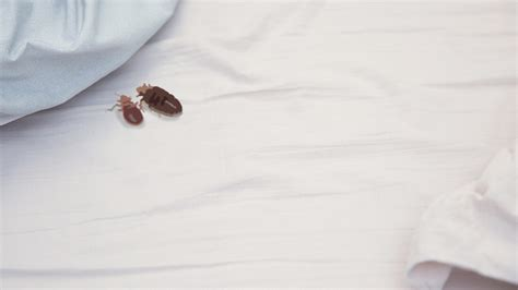 bed bath and beyond spartanburg sc how long can bed bugs go without eating 28 images