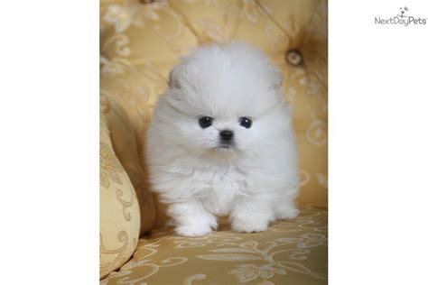 Do Teacup Pomeranian Shed by Top Quality Teacup Pomeranian Puppy 5 1 Breeds Picture