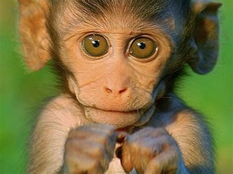 Monkey Wallpapers   First HD Wallpapers
