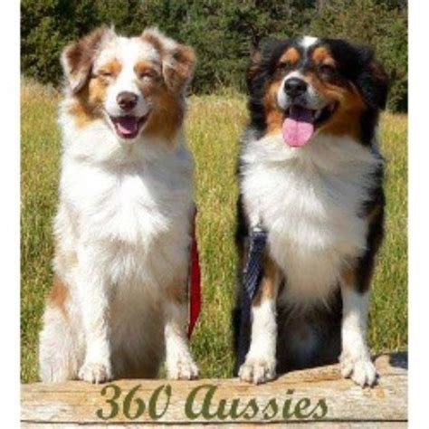australian shepherd puppies idaho australian shepherd aussie breeders in idaho freedoglistings