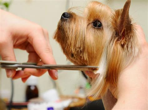 how to trim a yorkies how to trim yorkies yorkie trim groomer to groomer pet grooming
