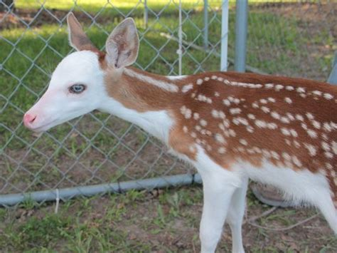 saves fawn sanctuary saves fawn that its tried to kill