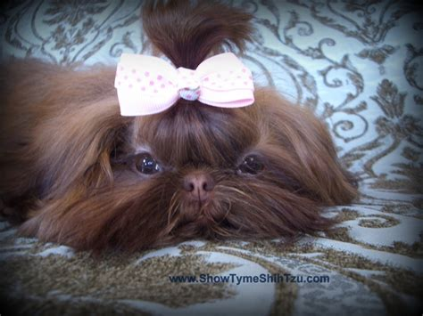 brown shih tzu names 17 best images about shih tzu s on rainbow