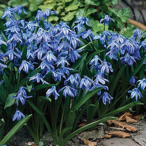 scilla flower flowers ideas for review