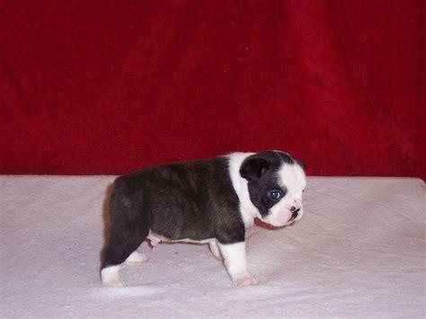 free bulldog puppies nc american bulldog puppies nc breeds picture