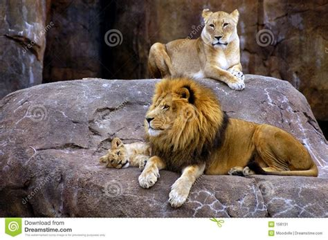 google images lion lion family google search animals other stuff