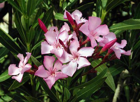 fiore oleandro oleandro consigli e risposte sulla cura degli oleandri