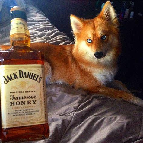 where can i get a pomeranian husky mix pomsky or the pomeranian husky the cutest i am bored