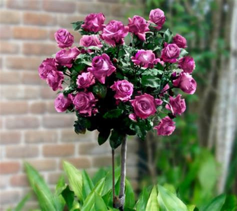 cottage farms roses cottage farms 36 quot heirloom patio tree qvc