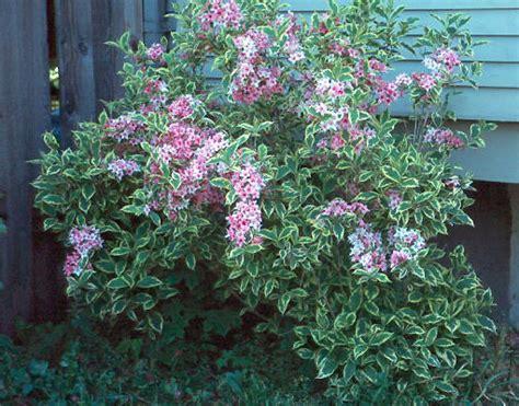 flowering shrub weigela variegated weigela