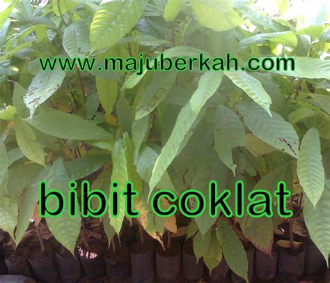 Jual Bibit Coklat bibit coklat bibit tanaman coklat jual bibit coklat bibit