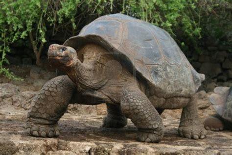 imagenes de animales lentos 3147893 galapagos giant tortoise uldissprogis