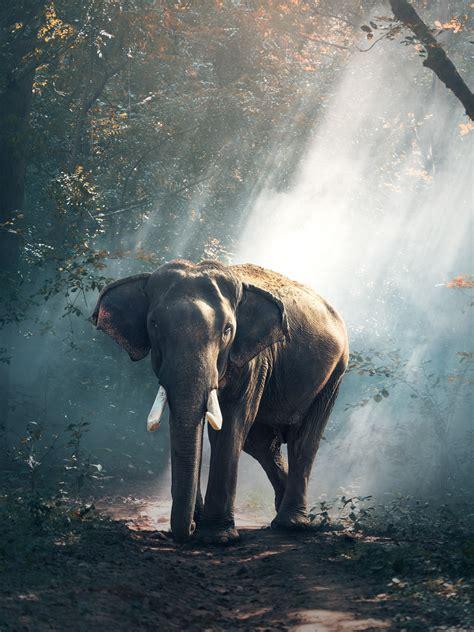 wallpaper elephant forest hd animals