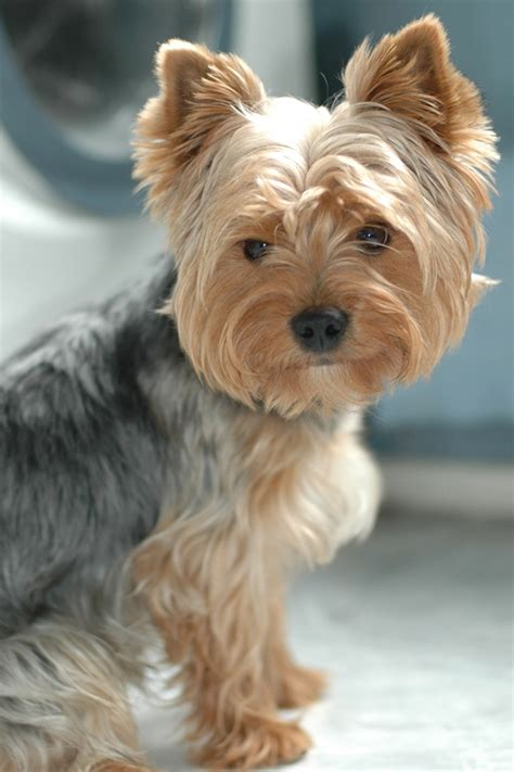 pictures of haircuts for silky terriers 173 best yippee for yorkies images on pinterest animals