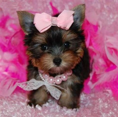 yorkie in a teacup healthy t cup yorkie puppies dogs puppies connecticut