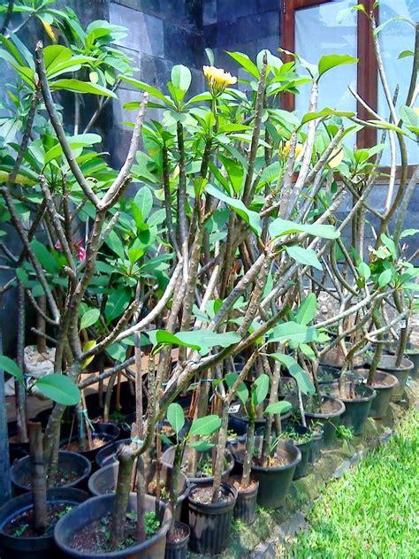 bibit tanaman murah jual pohon kamboja  denpasar