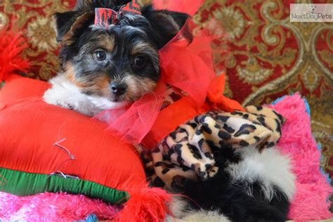 parti yorkies for sale near me terrier yorkie puppy for sale near dallas fort worth beca1bb6 a4a1