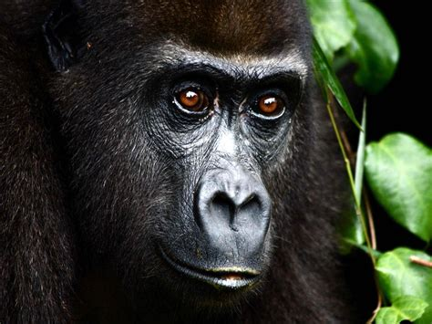 amazon rainforest animals gorilla most endangered species in amazon rainforest mountain