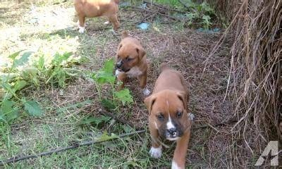 boxer puppies for sale in arkansas boxer puppies for sale in gravel ridge arkansas classified americanlisted