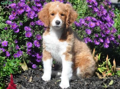 aussiedoodle puppies for sale pa pin by on